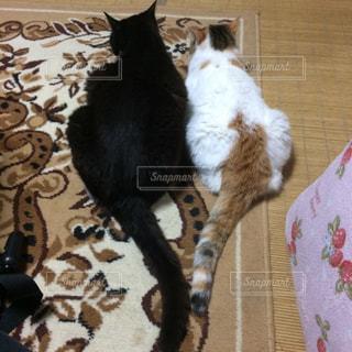 猫の写真・画像素材[219419]