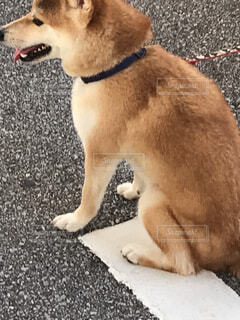 柴犬の写真・画像素材[4876267]