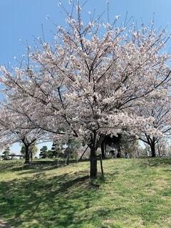 桜の木の写真・画像素材[4866486]