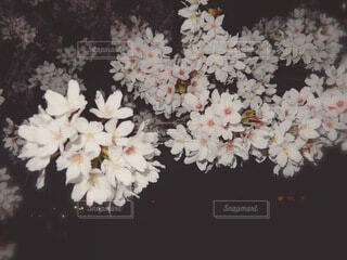 夜桜の写真・画像素材[4865870]