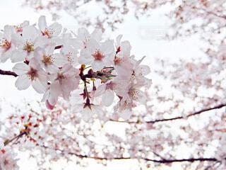 桜の写真・画像素材[4877076]