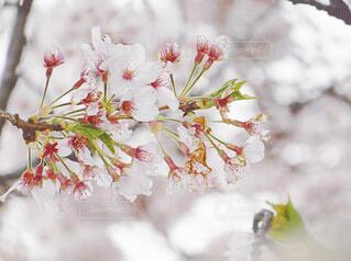 桜の写真・画像素材[4877096]