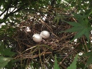 卵が入った巣の写真・画像素材[4952845]