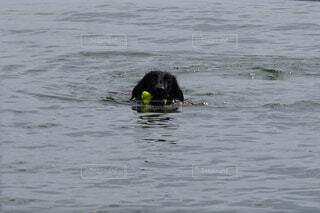 水の体で泳ぐ犬の写真・画像素材[4874079]