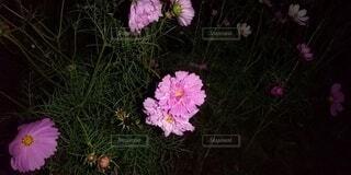 夜のパンジーの写真・画像素材[4919229]