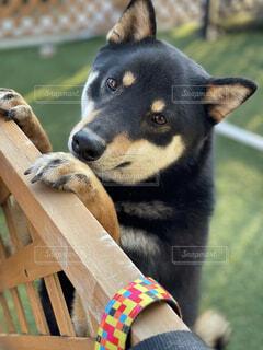 飼い主を見つめる芝犬の写真・画像素材[4872850]