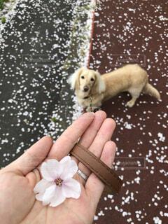 愛犬と桜の絨毯の上をお散歩の写真・画像素材[4873379]