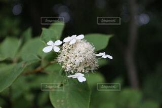 紫陽花の写真・画像素材[4862215]