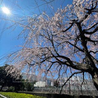 桜の下の写真・画像素材[4861342]