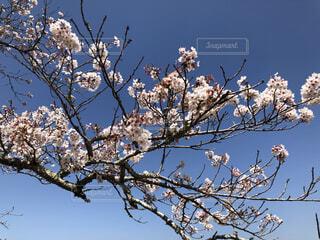 桜の写真・画像素材[4914724]