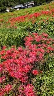 赤い彼岸花の写真・画像素材[4895695]