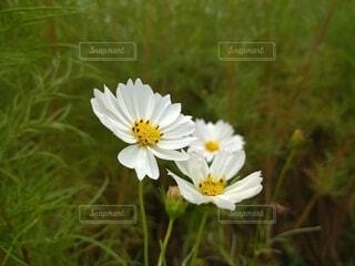 初秋の白いコスモスの写真・画像素材[4863815]