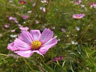 晴天のコスモス畑4の写真・画像素材[4917937]