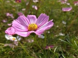 晴天のコスモス畑3の写真・画像素材[4917935]