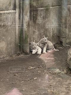 寄り添うチビトラ兄弟の写真・画像素材[4870923]