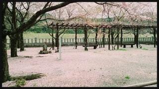 桜の絨毯の写真・画像素材[4870871]