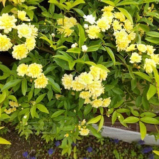春の庭から モッコウバラの写真・画像素材[4875900]
