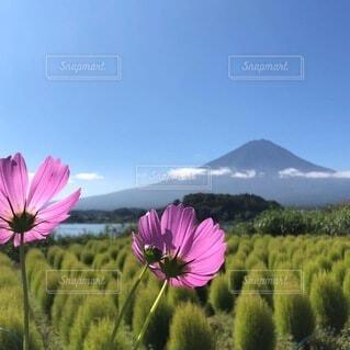 コスモスとコキア畑と富士山の写真・画像素材[4865739]