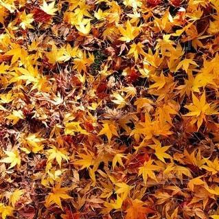 もみじの絨毯の写真・画像素材[4865743]