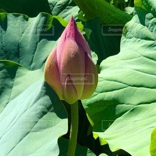 蓮の花のつぼみの写真・画像素材[4866202]