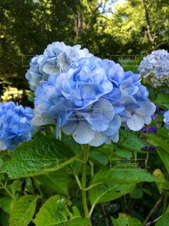 紫陽花の写真・画像素材[4866187]
