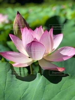 蓮の花の写真・画像素材[4866204]