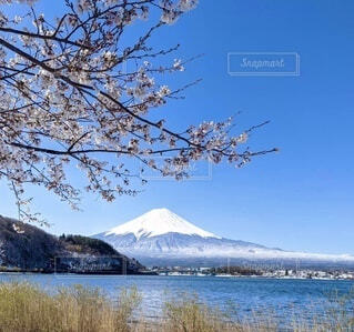 雪化粧した富士山と桜の写真・画像素材[4866206]