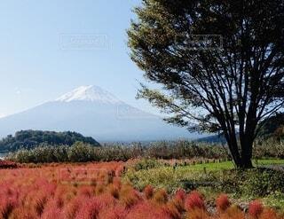 コキア畑と富士山の写真・画像素材[4866230]