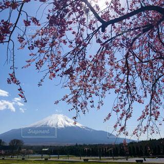 富士山と枝垂れ桜の写真・画像素材[4889176]