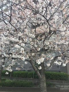桜1の写真・画像素材[4862469]