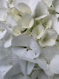満開の白い紫陽花の写真・画像素材[4871319]
