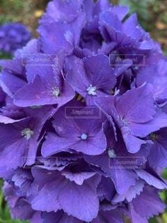 パープルの紫陽花の写真・画像素材[4871351]