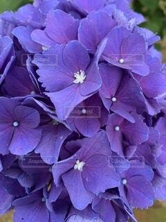 庭に咲く紫色の紫陽花の写真・画像素材[4871352]