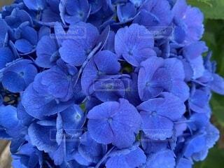 青い紫陽花の写真・画像素材[4871669]