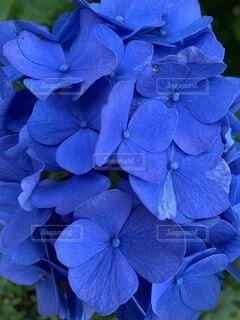 青い紫陽花の写真・画像素材[4871729]