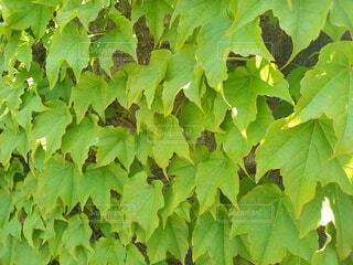 緑葉のカーテンの写真・画像素材[4894338]