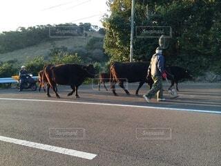 通りを通ってる牛の写真・画像素材[4875580]