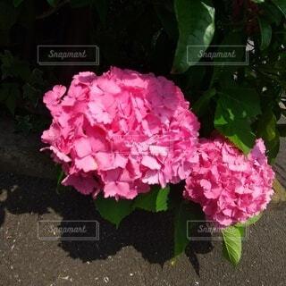 ピンクのあじさいの写真・画像素材[4872336]