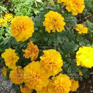 黄色い花の写真・画像素材[4916593]