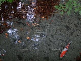 鯉の写真・画像素材[4873023]