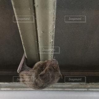 台風の日、雨戸の内側にいるコウモリの写真・画像素材[1462308]