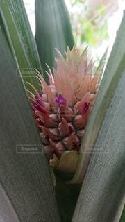 パイナップルの花の写真・画像素材[4868048]