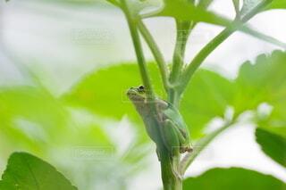 枝の上で一休みアマガエルの写真・画像素材[4865183]