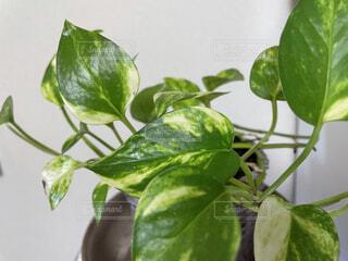観葉植物の写真・画像素材[4865477]