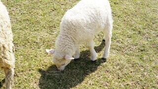 草を食べる羊の子の写真・画像素材[4873831]