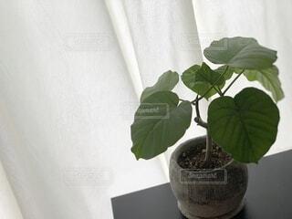 カーテン越しの観葉植物の写真・画像素材[4873899]