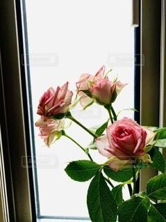 窓際のバラの写真・画像素材[4913456]