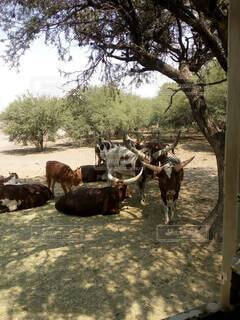 土の畑の上に立っている牛の群れの写真・画像素材[4868621]