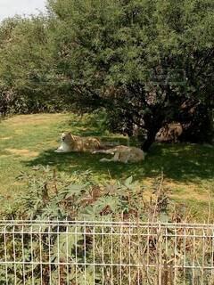 ライオンのお昼寝の写真・画像素材[4868620]