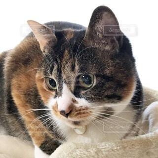 見つめる三毛猫の写真・画像素材[4867487]
